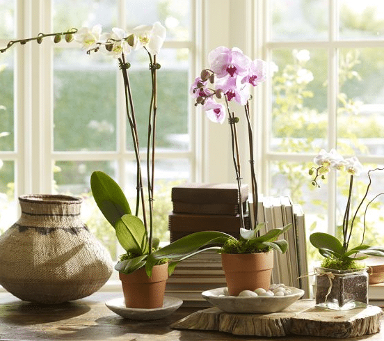 How to Care for Phalaenopsis Orchids