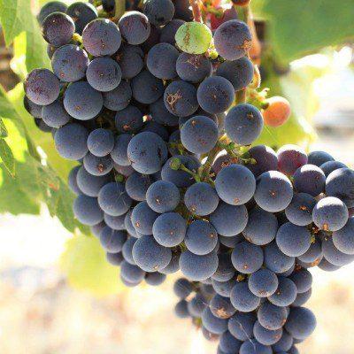 Beyond Napa: Wente Vineyards